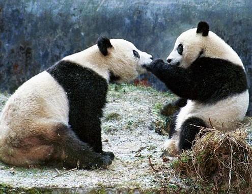 Mei Xiang y Tian Tian