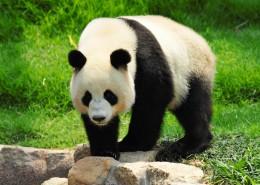 giant-panda-shutterstock_86500690